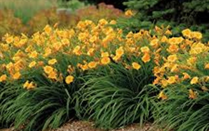 Evergreen Stella Daylily Picture