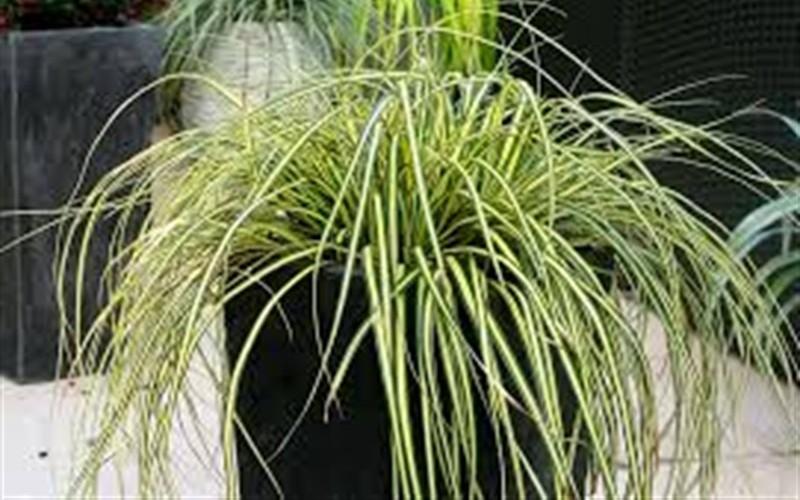 Everoro Carex Picture