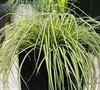 Everoro Carex Picture