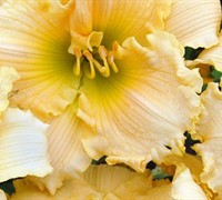 Joy Of Living Family Reunion Daylily Picture