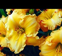 Joy Of Living Goldie Locks Daylily Picture