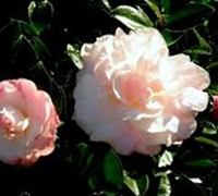 October Magic Dawn Camellia Picture