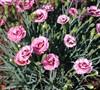 Raspberry Surprise Dianthus