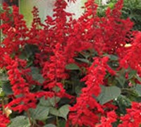 Saucy Red Salvia Picture