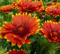 Sunset Flash Gaillardia Picture