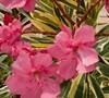 Twist Of Pink Oleander