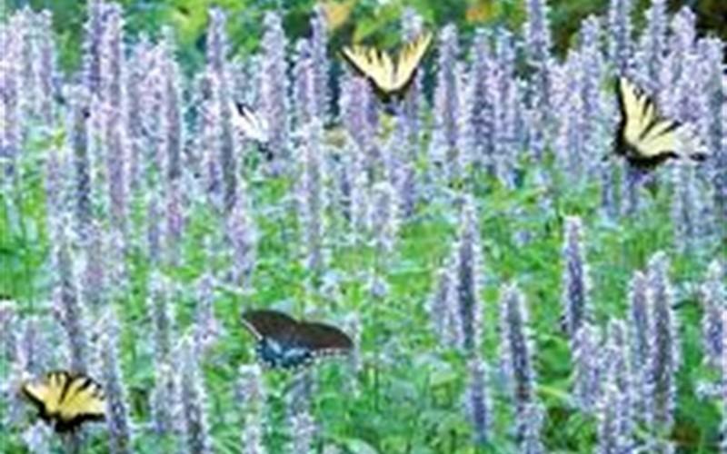 Agastache Blue Fortune - Hyssop Picture