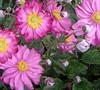 Anemone  Pretty Lady Julia