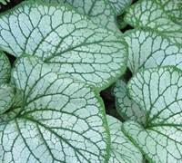 Brunnera Macrophylla  Silver Charm  Ppaf - Heartleaf Brunnera Picture