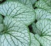 Brunnera Macrophylla  Silver Charm  Ppaf - Heartleaf Brunnera