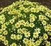 Coreopsis Ka-Pow Tm  Lemon  Uspptbs - Threadleaf Tickseed