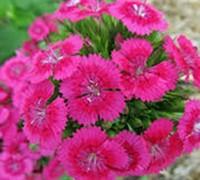 Dianthus  Jolt Pink Picture