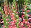 Digiplexis  Berry Canary  Ppaf - Canary Island Foxglove
