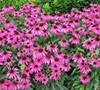 Echinacea  Butterfly Kisses  Pp#24458 - Coneflower