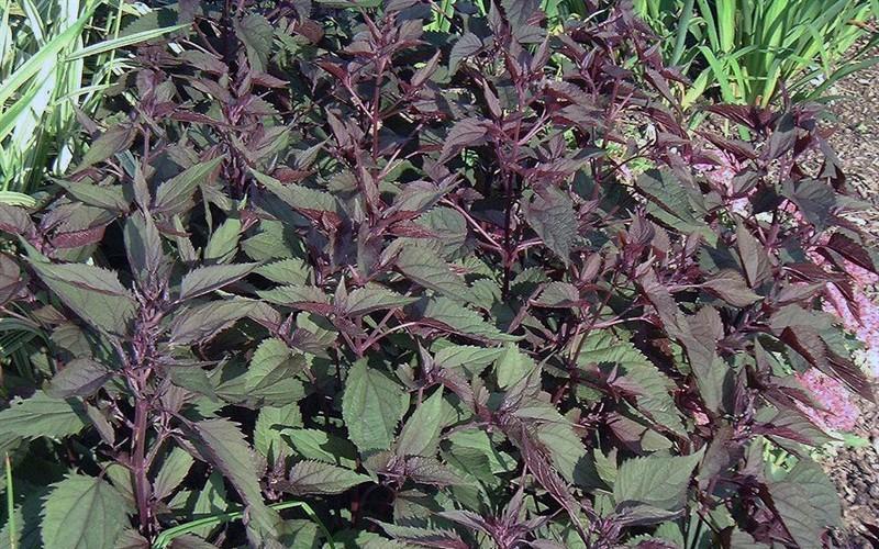 Eupatorium Rugosum  Chocolate  - Snakeroot Picture