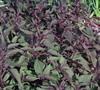 Eupatorium Rugosum  Chocolate  - Snakeroot