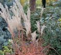 Miscanthus Sinensis  Little Miss  Ppaf Picture