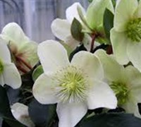 Helleborus Gold Collection®  Maestro  Ppaf Picture