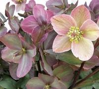 Helleborus Gold Collection®  Platinum Rose  Ppaf Picture