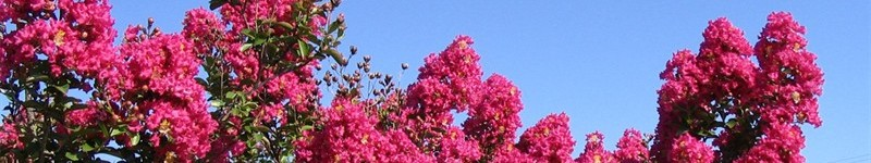 How To Grow Crape Myrtle From Cuttings