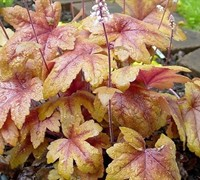 Heucherella  Twilight  Ppaf - Foamy Bells (Terra Nova) Picture