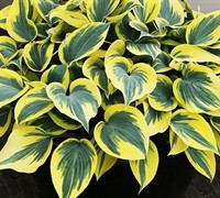 Hosta  Mini Skirt  Ppaf - Plantain Lily Picture
