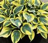 Hosta  Mini Skirt  Ppaf - Plantain Lily