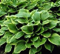 Hosta  Revolution  - Plantain Lily Picture