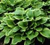 Hosta  Revolution  - Plantain Lily