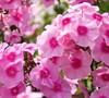 Phlox Paniculata  Flame Pink  Pp#11804 - Dwarf Garden Phlox