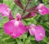 Salvia Heatwave Tm  Sparkle  Pp#24154 - Sage