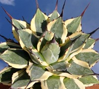 Agave  Cream Spike Picture