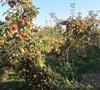 Jonagold - Apple Tree