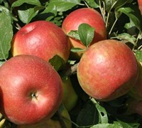 Honey Crisp - Apple Tree Picture