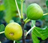 Italian Honey - Fig