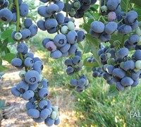 Reka - Blueberry Picture