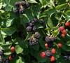 Chester - Blackberry
