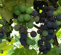Champanel - Grapes Picture