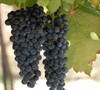 Black Spanish - Grapes