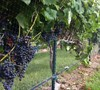 Black Spanish - Grapes