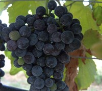 Lenoir - Grapes Picture