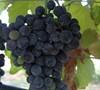 Lenoir - Grapes