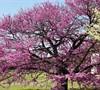 Tennesee Pink Redbud