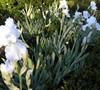 'Immortality' (White) Tall Bearded Iris- Iris Germanica