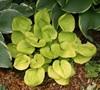 Maui Buttercups - Hosta Picture