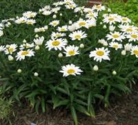 Leucanthemum X Superbum 'Snow Cap' Shasta Daisy Picture
