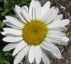 Leucanthemum X Superbum 'Snow Cap' Shasta Daisy