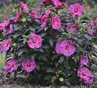 Berry Awesome Proven Winners® - Hibiscus Picture