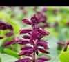 Saucy Wine Salvia