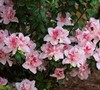 Autumn Belle Encore Azalea Picture